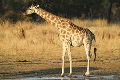 Side view of a Giraffe. Side view of a female Giraffe licking lips Royalty Free Stock Photography
