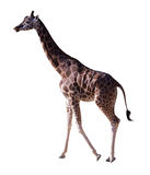Side view of giraffe. Isolated over white Stock Photo