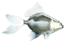 Side view of glass fish isolated. Over white background Stock Images