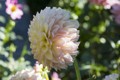 Side View: Glenmarc Sophie Dahlias Flower. Side view of a light pink and cream coloured Glenmarc Sophie Dahlia in it`s natural garden setting. Focusing on just Royalty Free Stock Image
