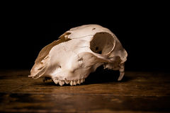 Side view of goat's skull Royalty Free Stock Image