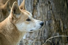 This is a side view of a golden dingo. This is a close up of a golden dingo stock photo