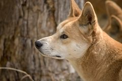 This is a side view of a golden dingo. This is a close up of a golden dingo stock photography