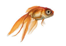 Side view of a Goldfish in water, islolated on white Stock Image