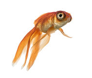 Side view of a Goldfish in water, looking up Stock Images