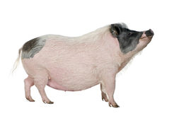 Side view of Gottingen minipig standing, studio sh Royalty Free Stock Photo