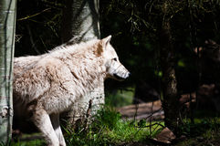 Side view of a gray wolf Stock Photos