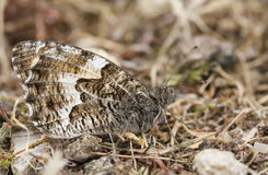 The side view of a Grayling Butterfly, Hipparchia semele perched on the ground with its wings closed. A side view of a Grayling Butterfly Hipparchia semele royalty free stock photo