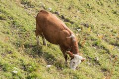 Side view of a grazing cow. Near the top station of the Wallbergbahn Stock Photos