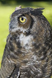 Side view of a great horned owl. Royalty Free Stock Photos