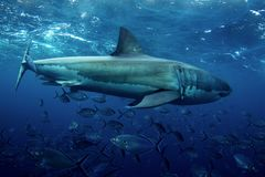 A side view of a Great White Shark stock photos