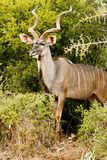 Side View of a Greater Kudu Stock Image