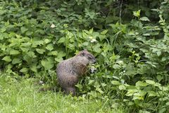 Greedy well-fed groundhog eating small wild flowers. Side view of greedy well-fed groundhog eating small wild flowers in the spring Royalty Free Stock Images