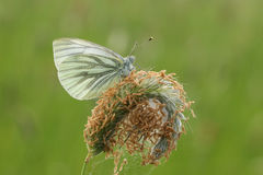 A side view of a Green-veined White Butterfly Pieris napi perched on a grass seed  head which contains a spiders nest. Royalty Free Stock Photography