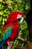 Side-view of a Green-Winged Macaw