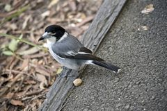 A grey butcherbird royalty free stock photography