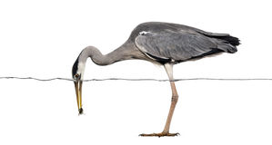 Side view of a Grey Heron catching a fish under water line Royalty Free Stock Image