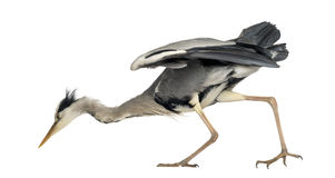 Side view of an Grey Heron looking down, curious, Stock Photo