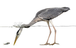 Side view of a Grey Heron looking at a fish, under water Royalty Free Stock Photography