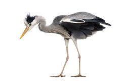 Side view of a Grey Heron, standing, looking down Royalty Free Stock Photography