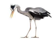 Side view of a Grey Heron upset, flapping its wings Stock Images