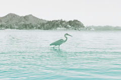Side View of Grey Heron Wading in Water. At Port Launay Marine Park, Seychelles Royalty Free Stock Photo