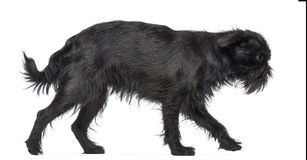 Side view of Griffon Bruxellois, 2 years old Stock Photography
