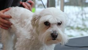 Side view of the grooming of the Maltese dog stock video footage