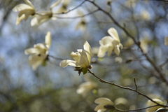 Side view of a group of yellow magnolia flowers Royalty Free Stock Image