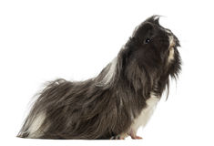 Side view of a Guinea Pig - Cavia porcellus Stock Photo