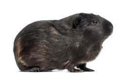 Side view of a Guinea pig Royalty Free Stock Images