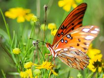 Gulf Fritillary butterfly royalty free stock photography