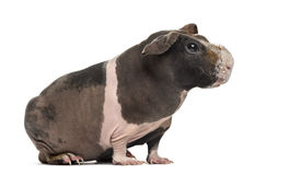 Side view of hairless guinea pig, isolated Stock Images