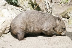 Hairy nosed wombat Royalty Free Stock Photography