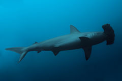 Side view of the hammerhead shark in ocean. Close up of hammerhead shark in the deep blue ocean waters Stock Photo