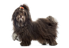 Side view of a Havanese looking at the camera, paw up, isolated Stock Image