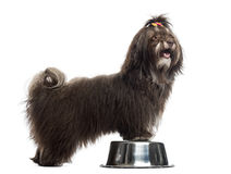 Side view of a Havanese panting, paws in a metallic bowl Royalty Free Stock Photo