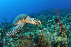 Side View of Hawksbill Stock Photos