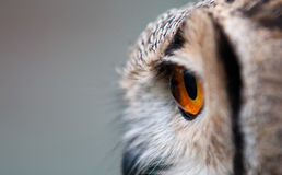 side view of the head of a European Eagle Owl Royalty Free Stock Photos