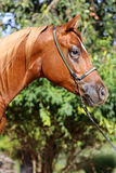 Side view head shot of a beautiful arabian stallion at farm Stock Images