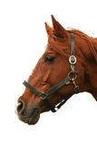 Side view head shot of a beautiful chestnut colored stallion Royalty Free Stock Photography