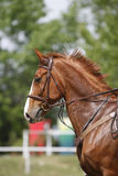 Side view head shot of a beautiful chestnut show jumper horse Royalty Free Stock Photos