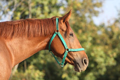 Side view head shot of a beautiful chestnut stallion at farm. Purebred hungarian gidran stallion standing in a corral . Head of a young  chestnut horse against Royalty Free Stock Photos