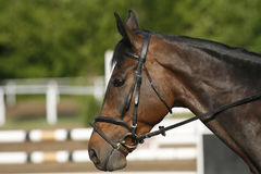Side view head shot of a beautiful show jumper horse in action Royalty Free Stock Images