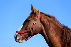 Side view head shot of a beautiful young chestnut mare Stock Photo