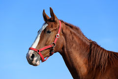Side view head shot of a beautiful young chestnut mare Royalty Free Stock Images