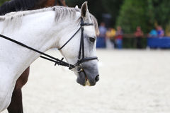 Side view head shot of a gray dressage horse during training Stock Photo