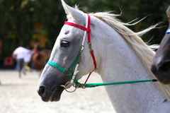 Side view head shot of a thoroughbred dressage horse Stock Photos