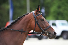 Side view head shot of a thoroughbred dressage horse Royalty Free Stock Photos
