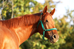 Side view head shot of a young chestnut horse. Thoroughbred young horse posing against green natural background. Check out my other equine photos please royalty free stock images